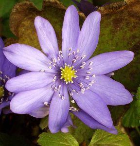 576px-Hepatica_transsilvanica_flower